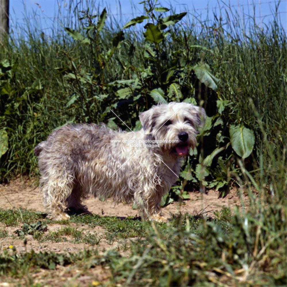 glen of imaal terrier standing on a field path