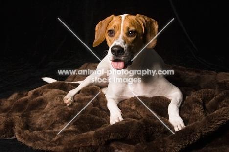 Beagle lying down on rug