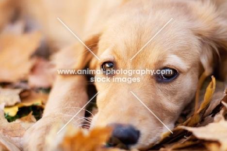 cute Golden Retriever lying on leaves