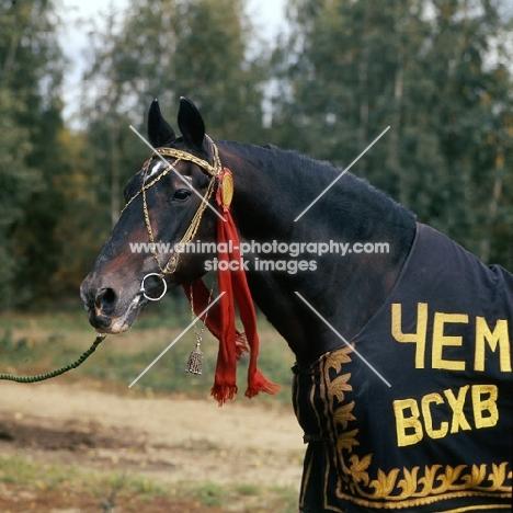 of quadrat / kvadrat, portrait, elderly famous orlov trotter in russia