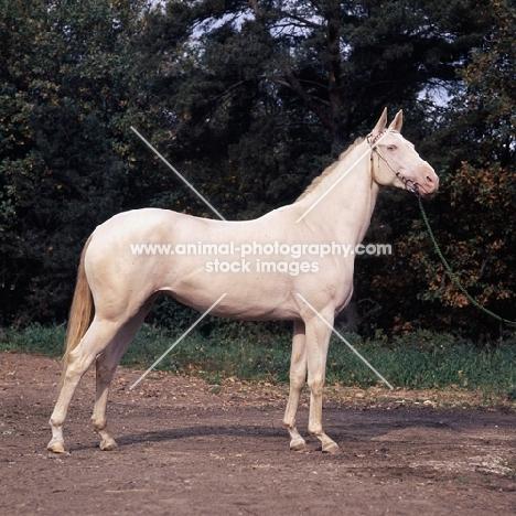 albino akhal teke at moscow exhibition