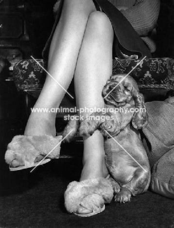 Cocker Spaniel puppy hugging legs
