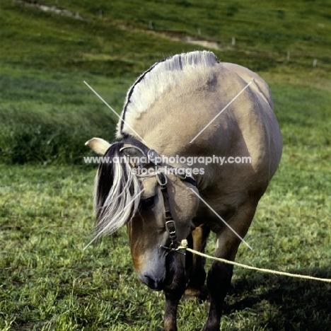 maihelten 1692, fjord pony stallion showing mane, in Norway