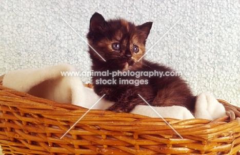 tortoiseshell kitten in a basket