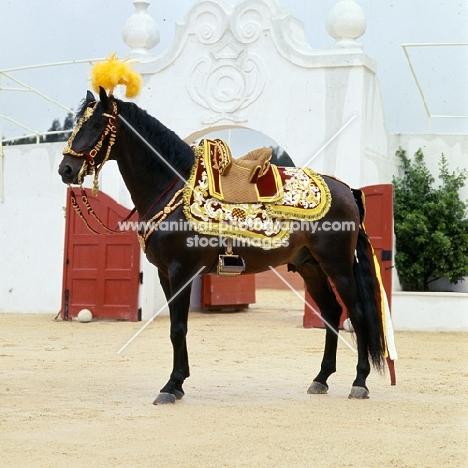 lusitano dressed for bull fight, caparisoned for the corrida,