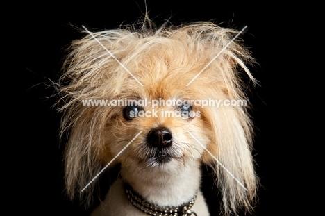 dog with fluffy hair