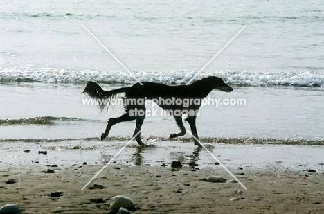 saluki on the beach in silhouette