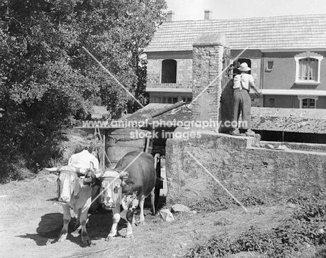 roadside scene with bullock cart in southern france