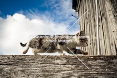 barn kitten walking along fence