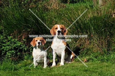 two Beagles amongst greenery