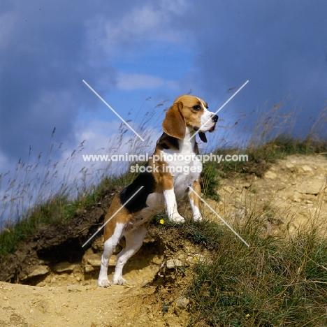 champion beagle standing up on raised ground