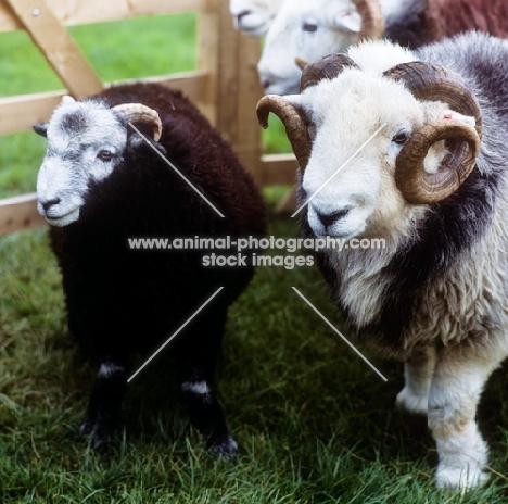 herdwick sheep in pen in lake district