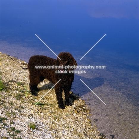 sh ch kellybrook joxer daly, irish water spaniel standing by water