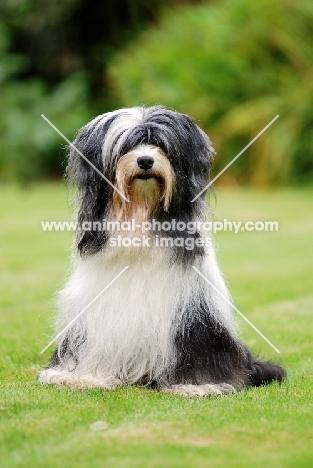 Tibetan Terrier sitting on grass