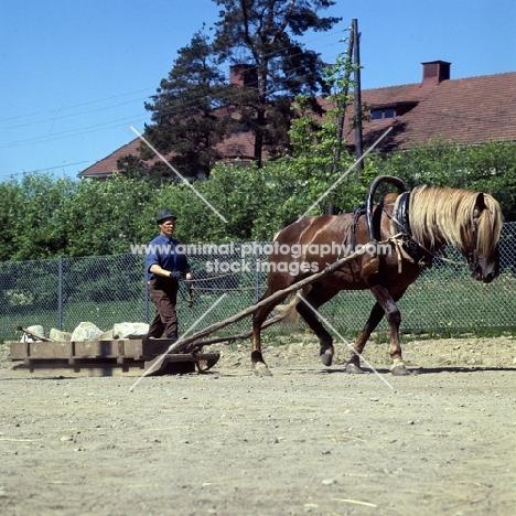 Finnish Horse pulling sledge of stones at Ypäjä