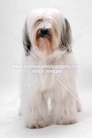 Tibetan Terrier, Australian Champion in studio