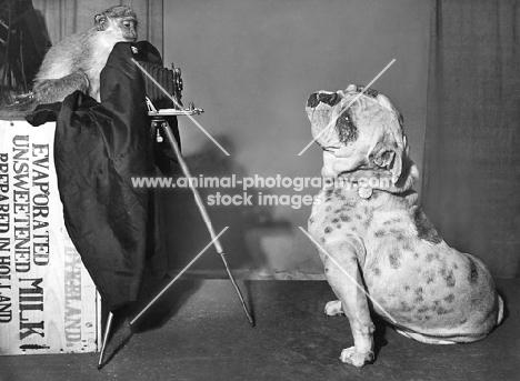Monkey photographing a Bulldog