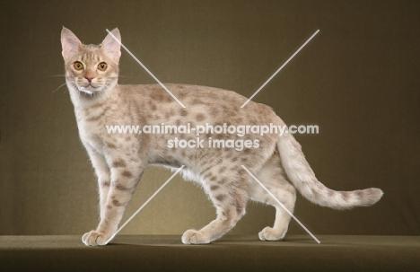 Ocicat side view, full body