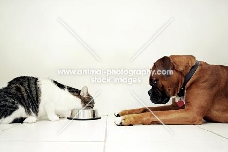 boxer watching cat eat