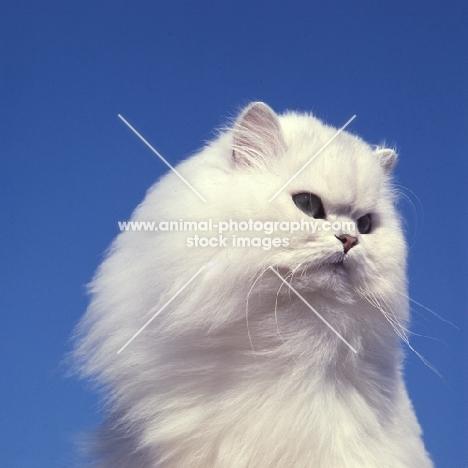 ch bonavia bella maria,  chinchilla cat