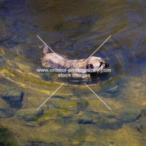 am ch dickendall's heart breaker, border terrier swimming in water