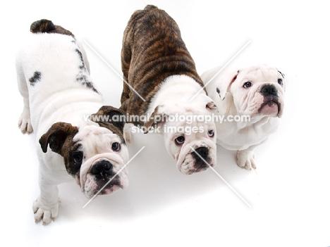 three American Bulldog puppies