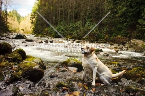 cream Labrador Retriever sitting near river