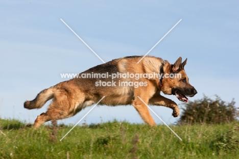 German Shepherd Dog (Alsatian), concentrating
