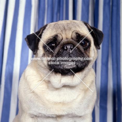 sad pug, head study