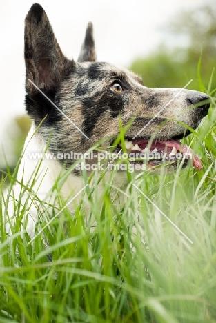 Cardigan Corgi in grass