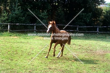 westphalian warmblood foal cantering