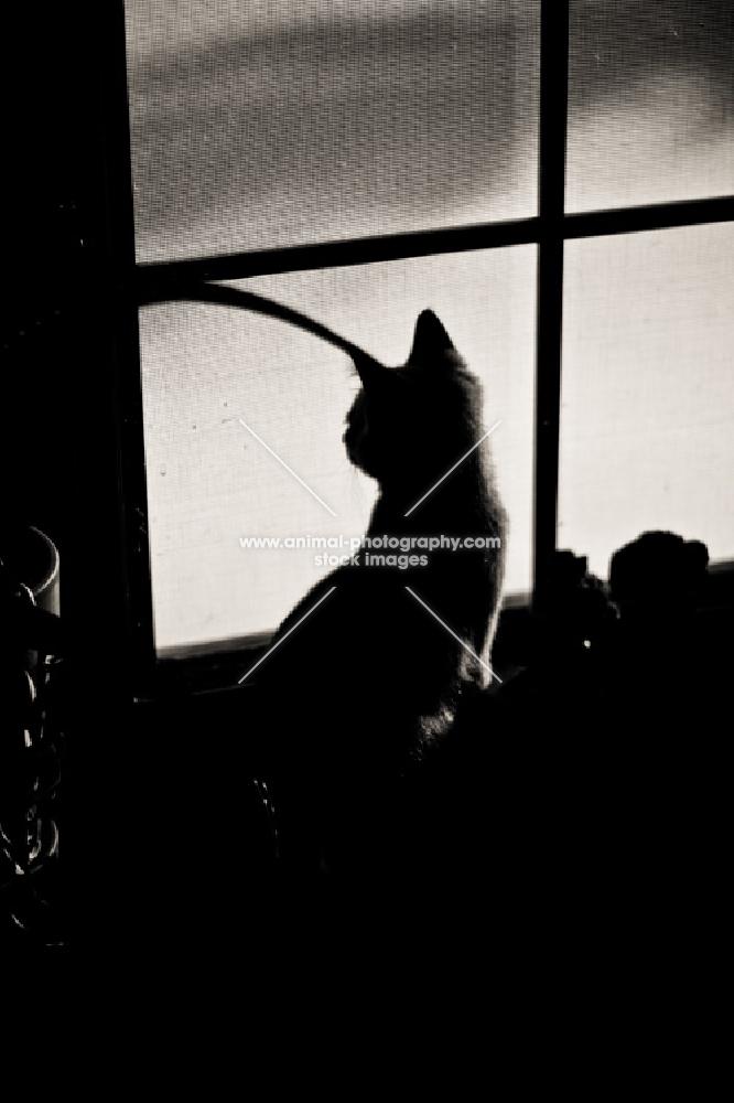 Kitten silhouette looking out window