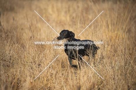 black labrador retriever retrieving quail in a field