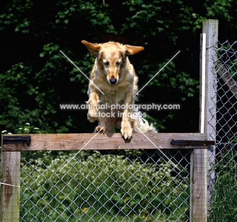 golden retriever jumping a gate