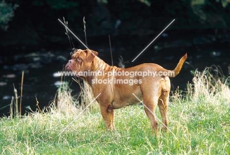 Dogue de Bordeaux standing at river bank