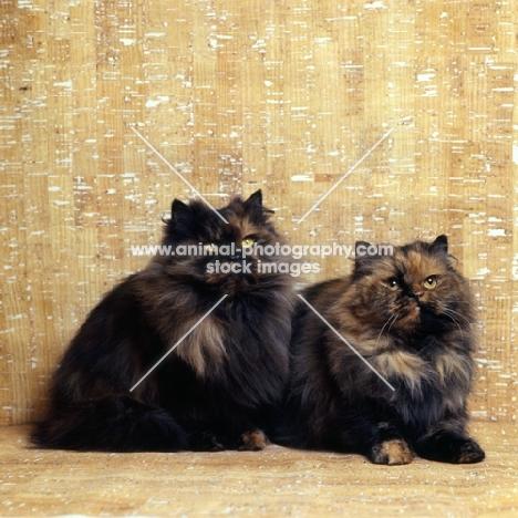 tortoiseshell cats, champion comari persian garden tortoiseshell cat, left, champion comari blondie, right