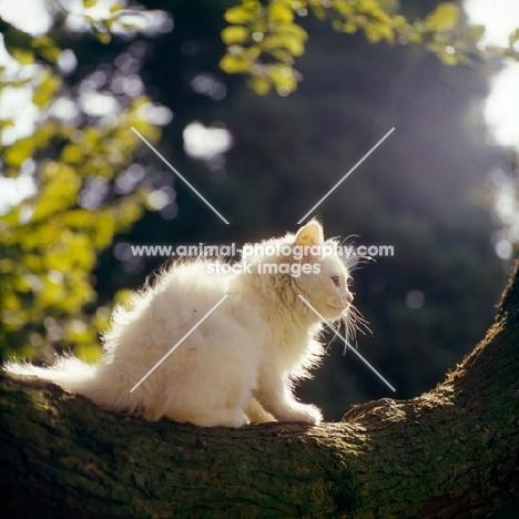orange eyed kitten on a branch, backlit,