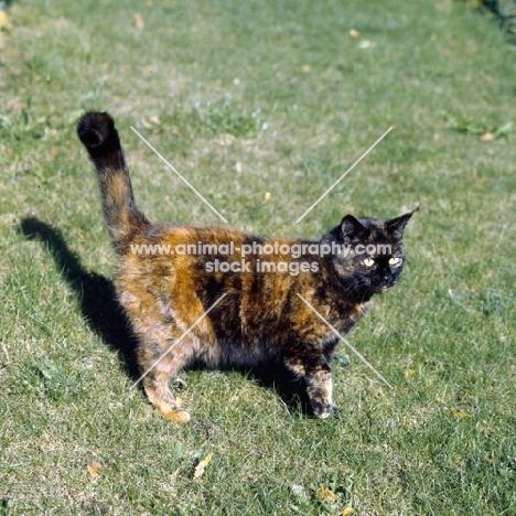 ch kita's dandelion, tortoiseshell short hair cat