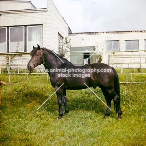 zhmud stallion