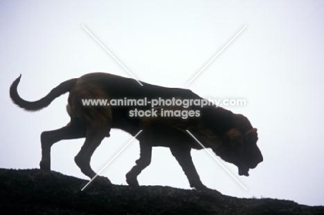 champion bloodhound silhouette