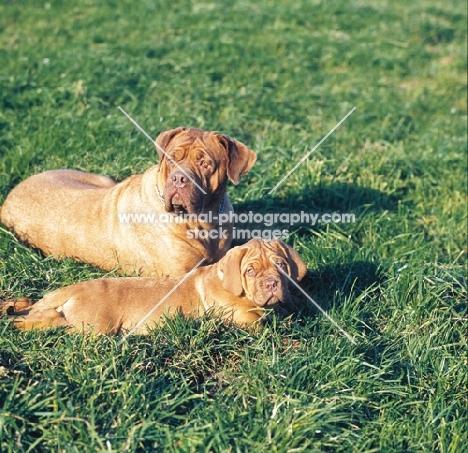 Dogue de Bordeaux bitch with puppy