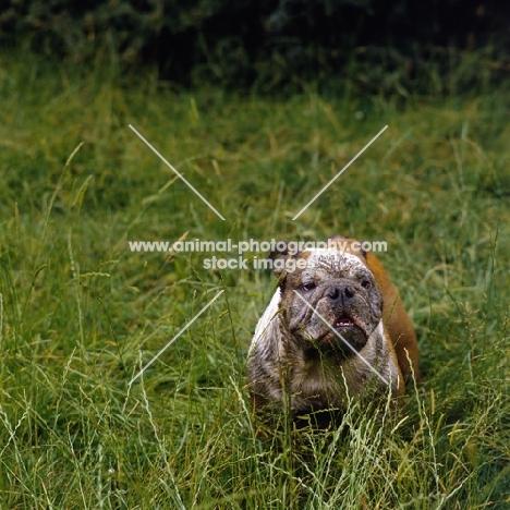coatesmar watney keg, bulldog with muddy face