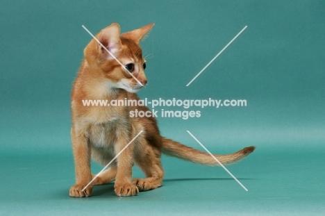 Sorrel (Red) Abyssinian kitten in studio