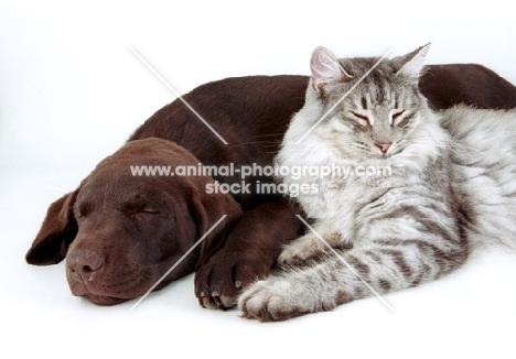 Chocolate Labrador resting next to cat
