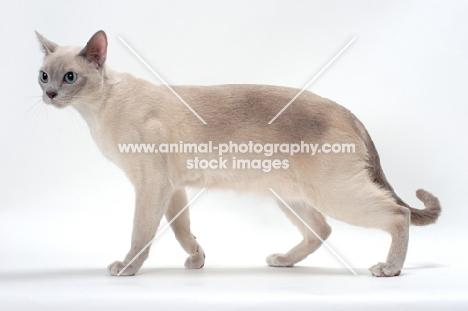 Tonkinese walking on white background, Lilac (Platinum) Mink coloured