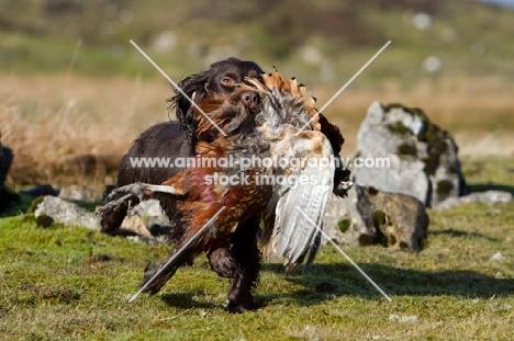 English Cocker Spaniel retrieving bird