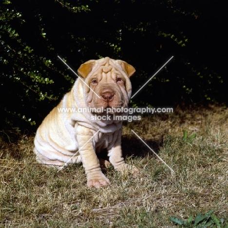 shar pei puppy on grass