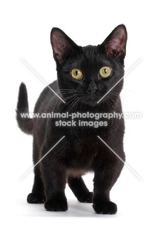 black shorthaired Munchkin on white background