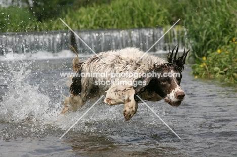 English Springer Spaniel running through water