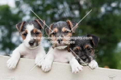 three Jack Russell puppies